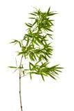 Bambu som isoleras på vit bakgrund Arkivbild
