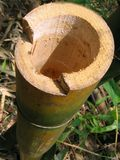 bambu som klipps av stem Royaltyfri Fotografi