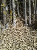 bambu torkade leaves Arkivbild