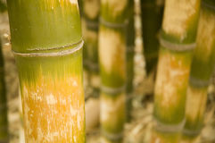 Bambu (ventricosa McClu de Bambus imagens de stock