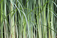 Bambu verde Foto de Stock