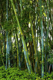 Bambu verde fotografia de stock royalty free