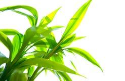 Bambu verde de encontro ao branco foto de stock royalty free