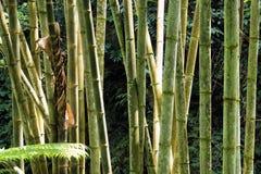 Bambu verde na selva tropical Foto de Stock Royalty Free