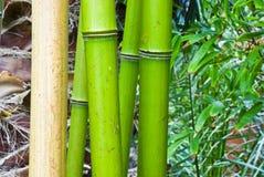 Bambu verde tropical Fotografia de Stock Royalty Free