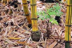 Bambu växer rotar på Arkivbilder