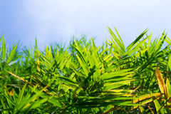 Bambublad Arkivfoto