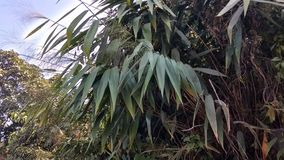 Bambubladbilder arkivbilder