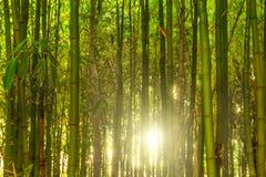 Bambubusksnår arkivbilder