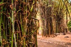 Bambudjungel arkivbilder