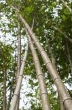 Bambudunge, naturlig grön bakgrund för bambuskog Fotografering för Bildbyråer