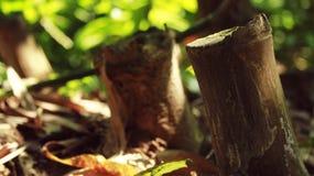 Bambuflitch Arkivfoton