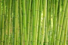 Bambugrässtjälk planterar stammar i tät dunge Royaltyfri Fotografi
