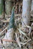 Bambugrodd Royaltyfri Foto
