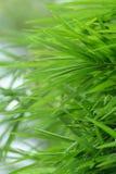 bambuleaves Royaltyfri Bild