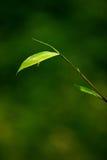 bambuleaves royaltyfri fotografi