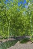 Bambuoas Royaltyfri Fotografi
