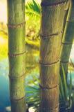 Bambupinnar i Mexico Arkivfoton