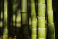 Bambusów badyle z wodnymi kroplami Obraz Stock