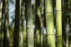 Bambusów badyle z wodnymi kroplami Zdjęcia Stock