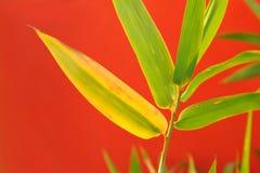 bambusów liść Zdjęcie Stock
