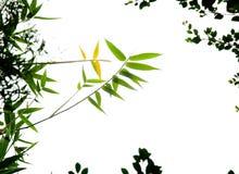 bambusów liść Obraz Royalty Free