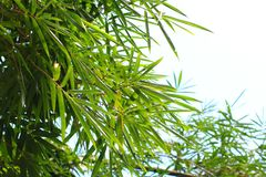 Bambusów liści roślina Fotografia Royalty Free