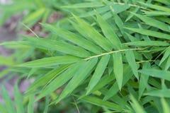 Bambusów liście brać w odgórnym widoku Obrazy Royalty Free