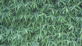 Bambusów liście dla tła Obraz Stock