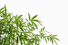 Bambusów liście odizolowywają na białym tle Fotografia Royalty Free