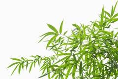 Bambusów liście odizolowywają na białym tle Fotografia Stock