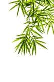 Bambusów liście odizolowywający na białym tle, ścinek ścieżka zawierają Obraz Stock