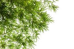 Bambusów liście odizolowywający na białym tle Obraz Royalty Free