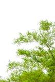 Bambusów liście odizolowywający na białym tle Zdjęcie Royalty Free