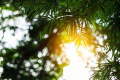 Bambusów liście przy światłem słonecznym Zdjęcia Stock
