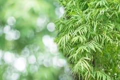 Bambusów liście w naturze jako tło Obraz Stock