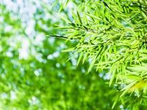 Bambusów liście z leavies tłem Zdjęcia Stock
