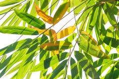 Bambusów liście Fotografia Royalty Free