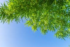 Bambusów liście na niebieskim niebie Obraz Stock