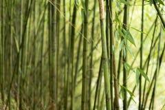 Bambusów liście w lesie Zdjęcia Stock