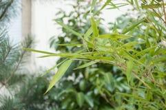 bambusów liście w ogródzie Obrazy Royalty Free