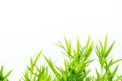 Bambusów liście z wodnymi kroplami Zdjęcia Stock