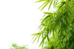 Bambusów liście z wodnymi kroplami Obraz Stock