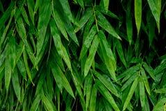 Bambusów liście z wodnymi kroplami Obraz Royalty Free