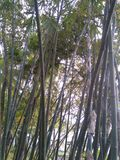 Bambus zdjęcie stock