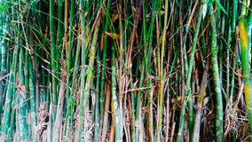 bambus foto de stock