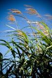 Bambus, der in der Brise durchbrennt Stockbild