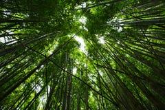 Bambus forrest Zdjęcie Stock