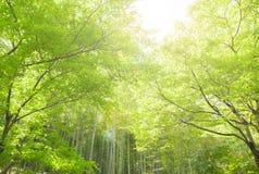 Bambus forrest Stockfoto