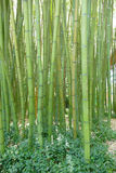 Bambus gigantes em um jardim botânico Imagem de Stock